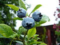Organic blueberry 3 (2722277040).jpg