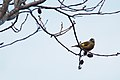 Oriental Greenfinch (Chloris sinica) (23975217950).jpg