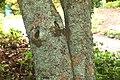 Osmanthus fragrans in Auckland Botanic Gardens.jpg