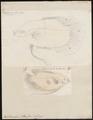 Osphronemus olfax - 1700-1880 - Print - Iconographia Zoologica - Special Collections University of Amsterdam - UBA01 IZ13800015.tif