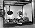 Ostrich Family, National Museum of Natural History, c. 1910.jpg