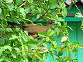 Pássaro em Viamão 030.jpg
