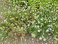 P1000374 Gilia capitata (Queen Anne's Thimble) ().JPG