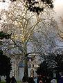 P1150812 Paris V jardin des Plantes platane de Lavoissier rwk.jpg