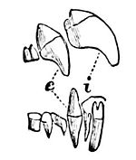 PSM V09 D559 Teeth of the vampire bat.jpg