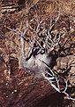 Pachypodium.jpg