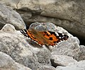 Painted Lady Vanessa cardui (45498722131).jpg