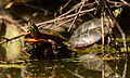 Painted Turtle at Sleepy Hollow Lake - 2015.jpg