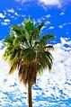 Palm Tree - Tenerife - Canary Islands - Holiday. By Thomas Tolkien (8401214376).jpg