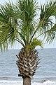 Palm tree top, Georgia, US.jpg