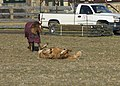 Palomino horse roll in the hay (15431545779).jpg