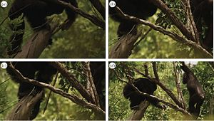Western chimpanzee - A western chimpanzee using a wooden spear to hunt a Senegal bushbaby inside the branch, as his adolescent brother observes.