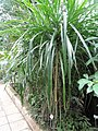 Pandanus pygmaeus - Botanischer Garten Freiburg - DSC06320.jpg