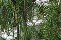 Pandanus thomensis à Ribeira Peixe (São Tomé) (3).jpg