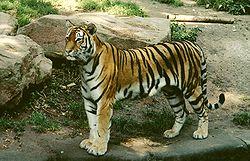 Panthera tigris altaica female.jpg