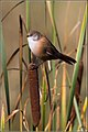 Panurus biarmicus -Oare Marshes, Kent, England -female-8.jpg