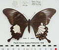 PapilioFuscusDayacusFUpUnAC1.jpg