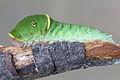 Papilio canadensis caterpillar 2.JPG