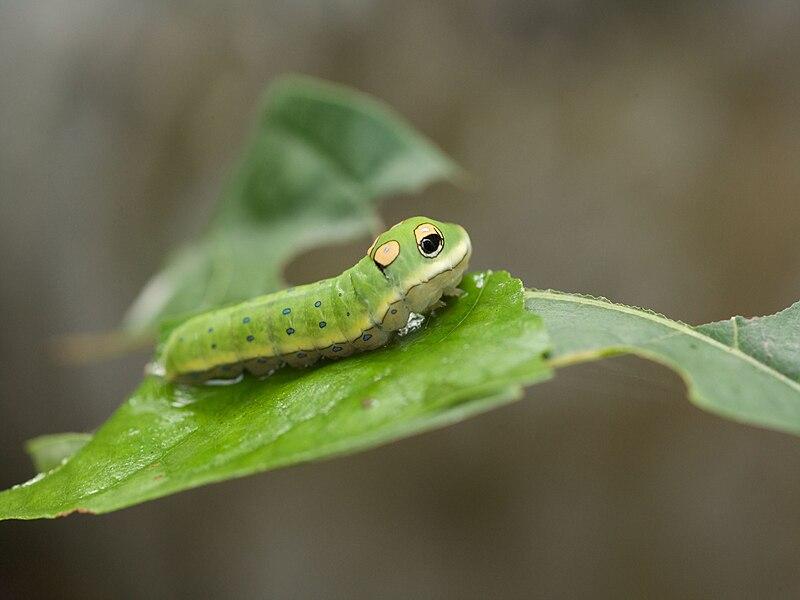 File:Papilio troilus larva.jpg