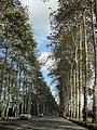 Parallel trees, Sumeh sara, Gilan province خیابان ورودی فومن،گیلان - panoramio.jpg