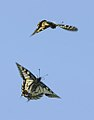 Pareja de mariposas rey en vuelo 03 - couple of Swallowtails - Papilio machaon (433902197).jpg