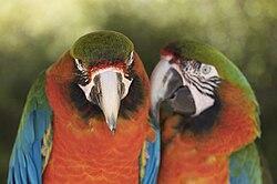 Parrots perroquets.jpg