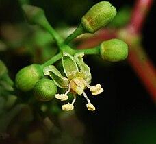 Parthenocissus quinquefolia fleur.jpg