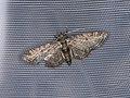 Pasiphila rectangulata (42141520794).jpg