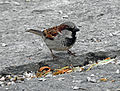 Passer domesticus House Sparrow 01.JPG