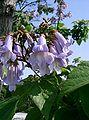 Paulownia tomentosa2.jpg