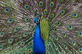 Peacock (6964635758).jpg