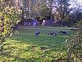 Peacocks - geograph.org.uk - 78557.jpg