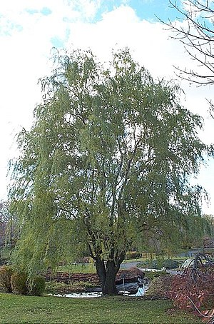 Salix matsudana - Corkscrew variant of the Chinese willow (Salix matsudana cv. 'Tortuosa')  planted in the Jardin botanique de Montréal in Canada