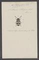 Pelecophorus - Print - Iconographia Zoologica - Special Collections University of Amsterdam - UBAINV0274 025 09 0072.tif
