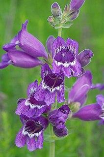 <i>Penstemon cobaea</i> Species of flowering plant