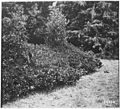 Pepper Bush or Myrtle (Umbelulara Californica) Browsed by Goats, Siskiyou Forest, California, 1920. - NARA - 299150.jpg