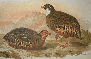 Painted bush quail - Illustration of the nominate subspecies, the red legs and bill are diagnostic in the field