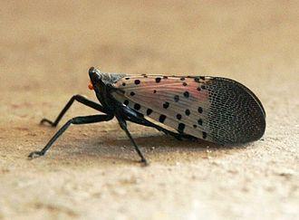 Fulgoridae - Image: Perho