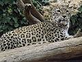 Persian Leopard 06.jpg