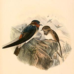 American cliff swallow - Petrochelidon pyrrhonota 1894