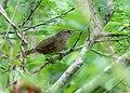Phacellodomus maculipectus - Spot-breasted Thornbird.jpg