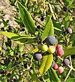 Phillyrea latifolia. Grezu.jpg