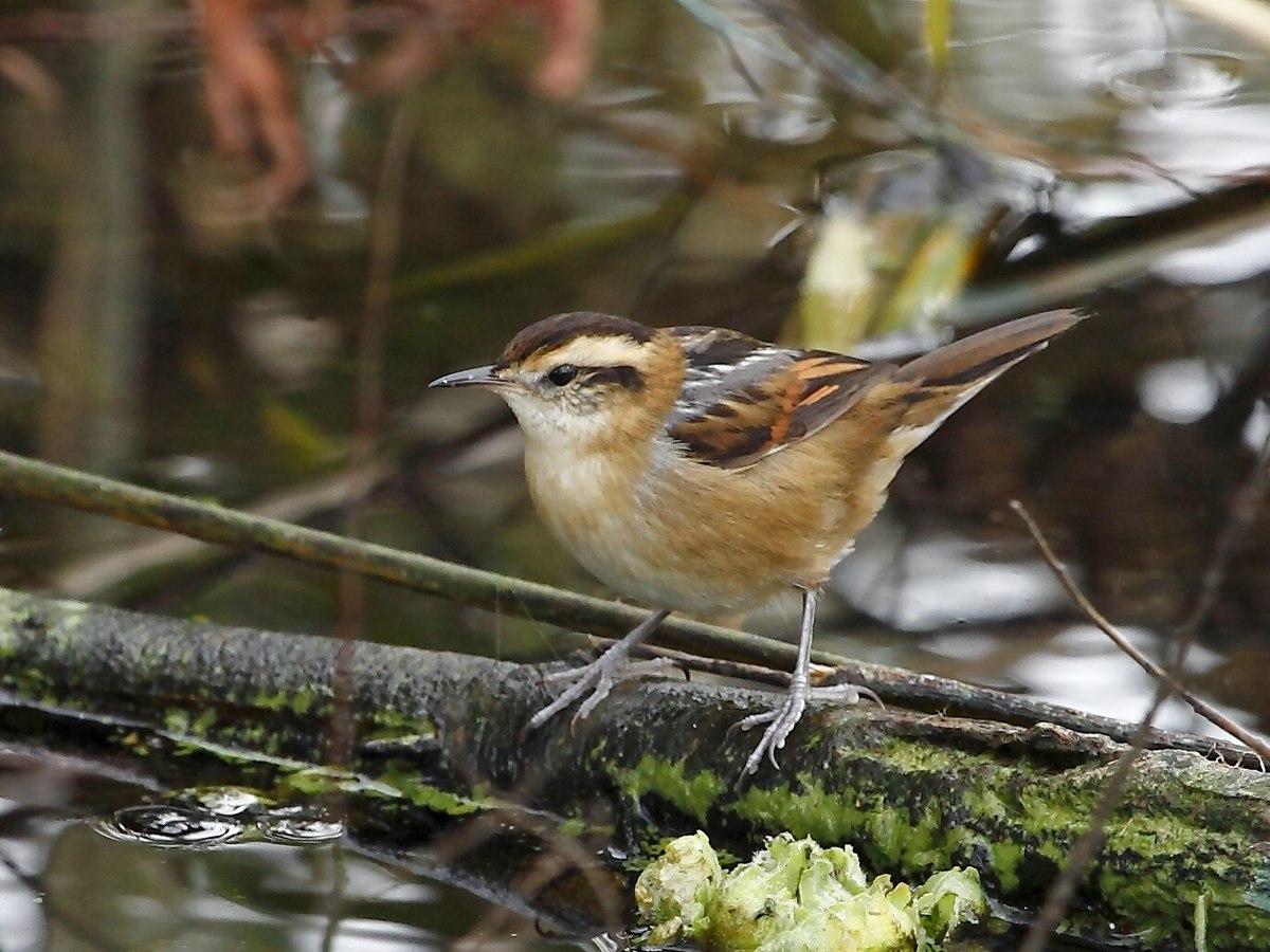 Wren-like Rushbird - Wikidata