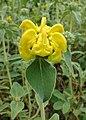 Phlomis fruticosa kz02.jpg