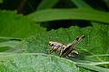 Pholidoptera griseoaptera larva-pjt.jpg