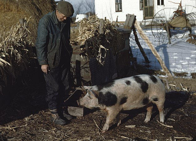 Photography by Victor Albert Grigas (1919-2017) pig and farmer 000244 (39963452154).jpg