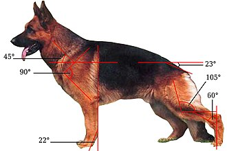 German Shepherd - The structure of the body of GSD
