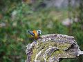 Phrygilus gayi, Patagonia 2.jpg
