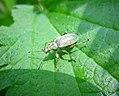 Phyllobius sp - Flickr - gailhampshire.jpg