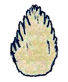 Phyllodon